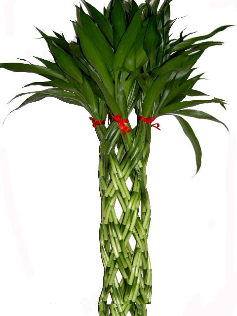 thai export lucky bamboo curly 120 cm large size the lucky. Black Bedroom Furniture Sets. Home Design Ideas